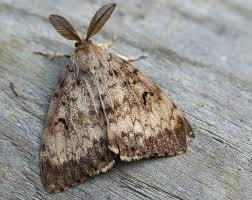 gypsy moth 3